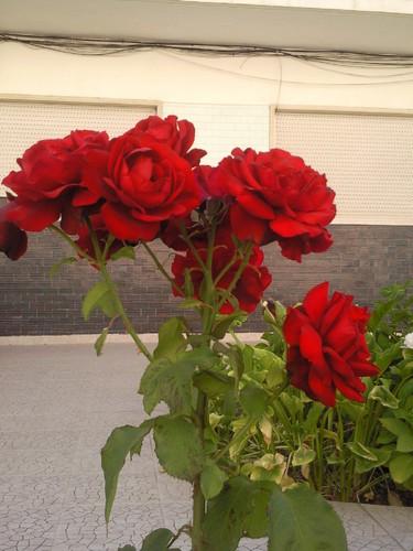 Rosas. Foto original de DAPL 2015.jpg