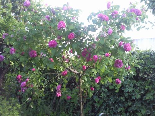 """""""Rosas..."""" Foto original de DAPL 2014 .jpg"""