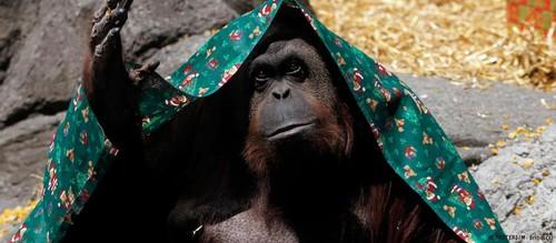 orangutango.jpg