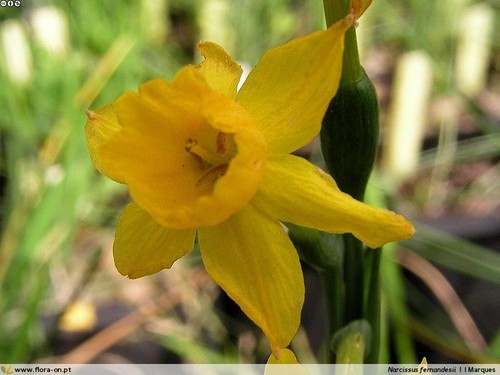 Narcissus_fernandesii.jpg