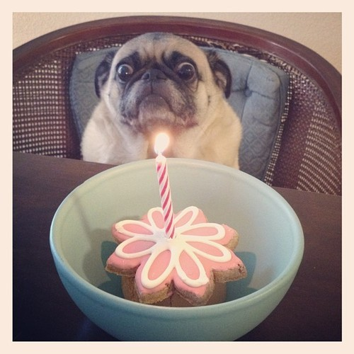 Pug-not-sure-about-this-birthday-thing.jpeg