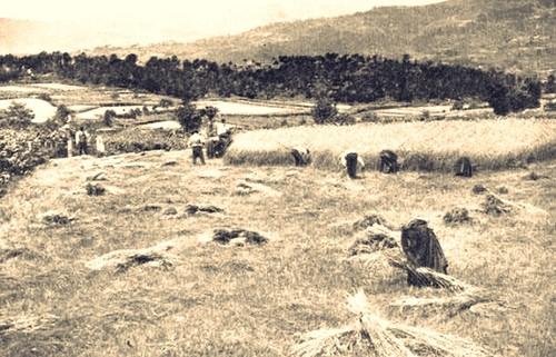 Colheita de centeiro no Alto Minho 1911.jpg