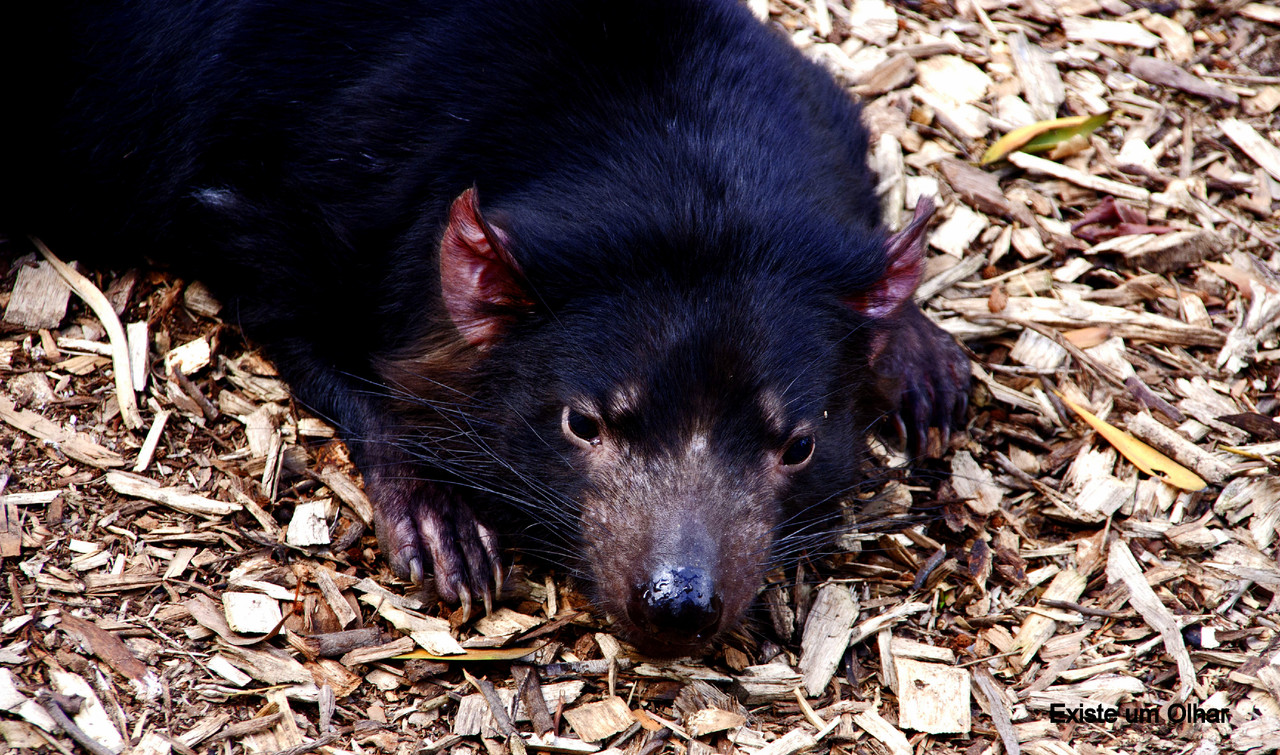 O diabo da Tasmânia
