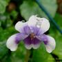 Viola_hederacea.jpg