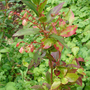 Vaccinium_padifolium.jpg