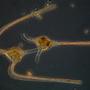 ceratium (machroceros).jpg