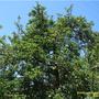 Prunus_domesticaFR.JPG