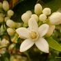 citrus_sinensis.jpg