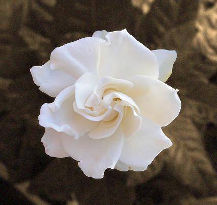 gardenia-edu-fonseca.jpg