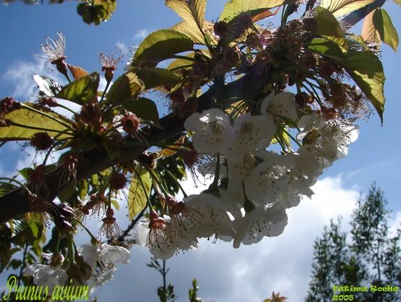 Prunus_avium.jpg