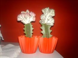 Euphorbia Lactea F. Cristata