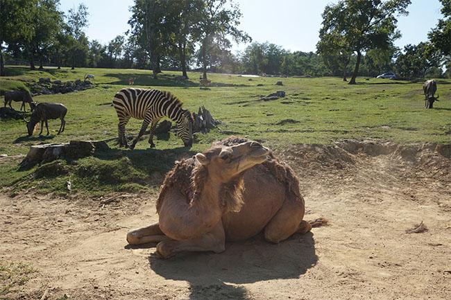 kamel_safaripark