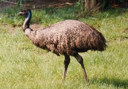 Emu bird (14-10-15)